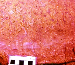 Poorly sorted conglomeratic sandstone overprinted by Skolithos burrows and purple iron oxide mottling (ferricrete pedogenesis). Both bioturbation and palaeosol development destroy most of the primary sedimentary structures in the Trichrug Formation.