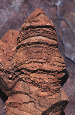 A columnar stromatolite from the 3,430 million year old Strelley Pool Group in the Pilbara region. Photo: Ken McNamara