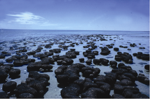 Stromatolites in the hypersaline Hamelin Pool, Shark Bay, Western Australia. Photo: Ken McNamara