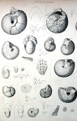Phillips's goniatite drawings