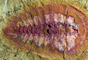 Researchers found more than 1500 fossils of marine creatures, like this cheloniellid arthropod, in the Draa Valley. (Credit: Photo courtesy of Peter Van Roy/Yale University)