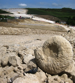 Titanites sp., emerging from excavations in the Portland Stone Formation, Weymouth Relief Road. Photo - Richard Edmonds