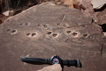 Reptile tracks in an erratic of Coconino sandstone, Jackass Canyon, mile eight.