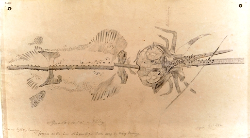 Mary Anning's sketch of Squaloraja. Picture courtesy Oxford University Museum of Natural History