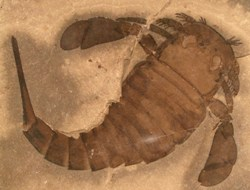 Eurypterus remipes. Photo: Yale University