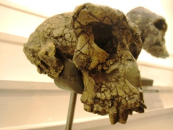 Sahelanthropus tchadensis on display at Lausanne Natural History Museum. Image: Wikimedia Commons.