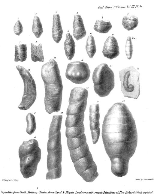 Fossil dung - coprolites - compared with modern intestines of dogfish...